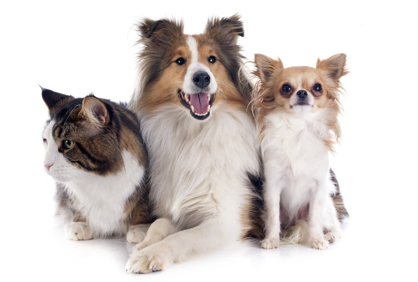 portrait of a purebred shetland dog, chihuahua and maine coon cat in front of white background